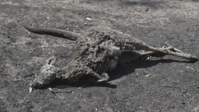 vídeos de stock, filmes e b-roll de ms dead kangaroo after bushfire / victoria, australia   - victoria austrália