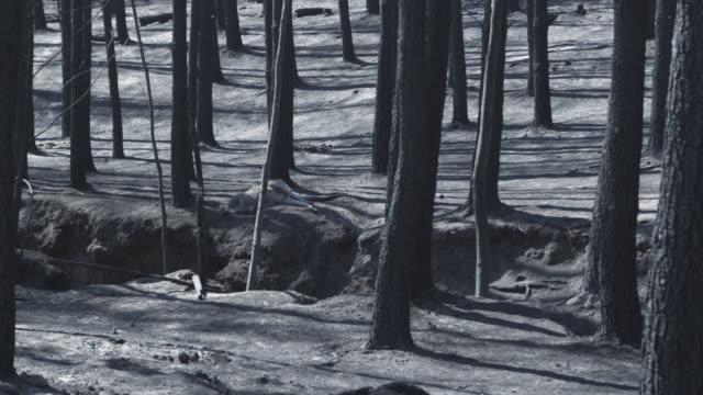 vídeos de stock, filmes e b-roll de ms dead kangaroo in forest after wildfire / victoria, australia   - victoria austrália