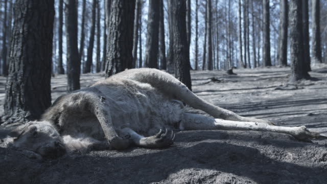 ms dead kangaroo in forest after wildfire / victoria, australia   - waldbrand stock-videos und b-roll-filmmaterial
