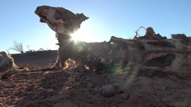stockvideo's en b-roll-footage met dode kangoeroe - droogte