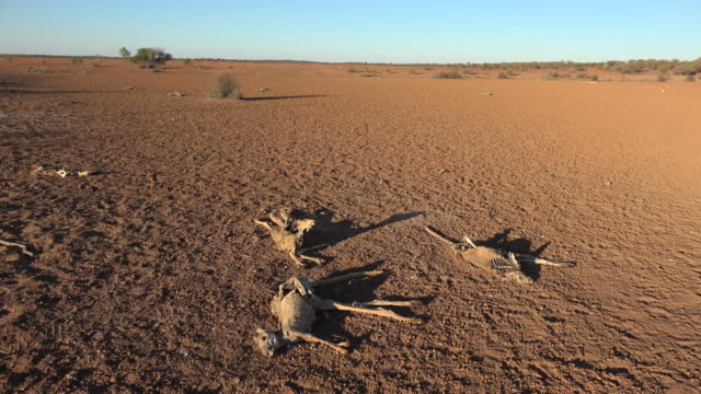 dead kangaroos - drought stock videos & royalty-free footage