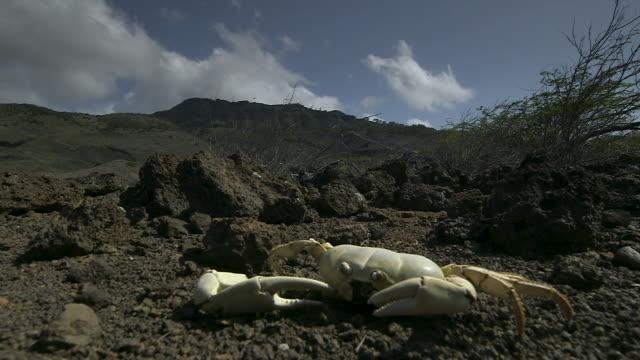 dead land crab exoskeleton, ascension island - tierisches exoskelett stock-videos und b-roll-filmmaterial