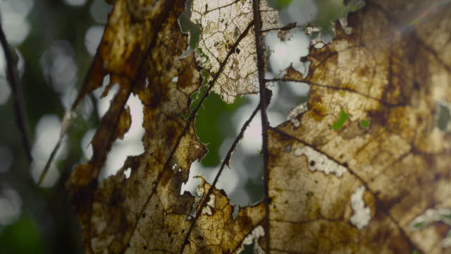 Dead leaf in forest, Ecuador