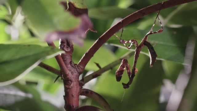 dead leaf mantis nymph amongst foliage, uk - disguise stock videos & royalty-free footage