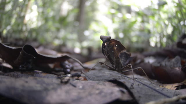 dead leaf mantis, walks away over dead leaf litter - 擬態点の映像素材/bロール