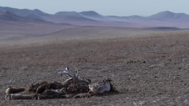 dead livestock on a farm in mongolia caused by drought thought to be associated with high levels of air pollution - cattle stock videos & royalty-free footage