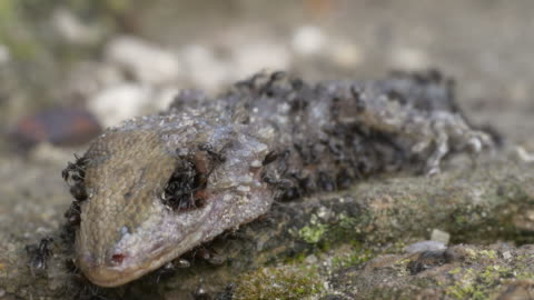 vídeos y material grabado en eventos de stock de dead lizard is eaten by ants, frontal shot - pudrirse