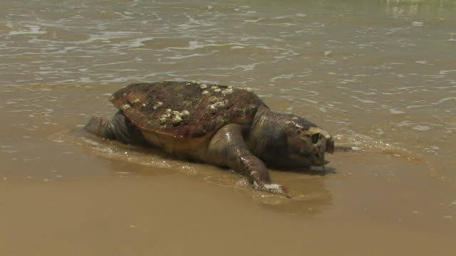 dead loggerhead sea turtle (caretta caretta) on beach - loggerhead sea turtle stock videos & royalty-free footage