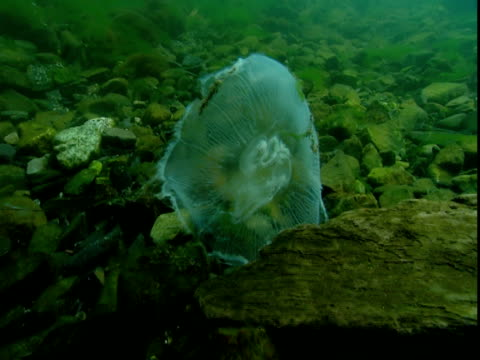 a dead moon jellyfish tumbles in the ocean's current. - moon jellyfish stock videos & royalty-free footage