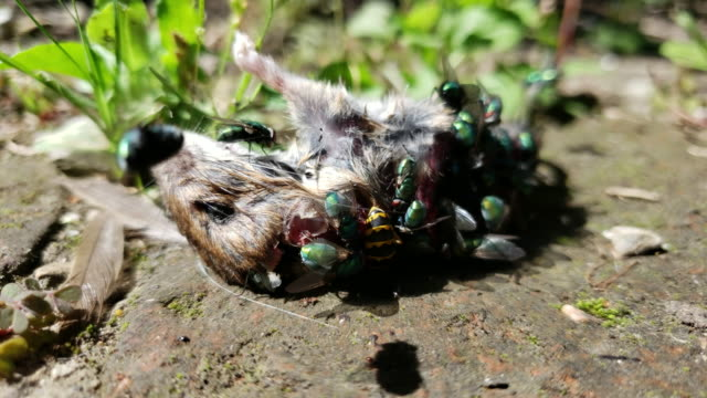 dead mouse being eaten by flies - decay stock videos & royalty-free footage