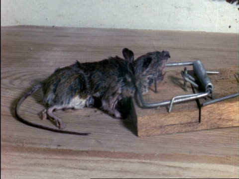 t/l dead mouse in trap, rot, rotting, maggots, england - pests stock videos & royalty-free footage
