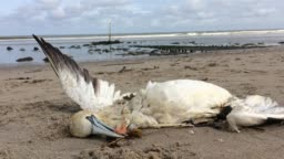 dead northern gannet trapped in plastic fishing net