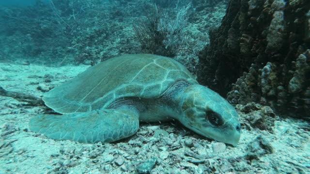 vídeos de stock, filmes e b-roll de tartaruga ridley olive (lepidochelys olivacea) em espécies vulneráveis a recifes de corais subaquáticos - poluição do plástico