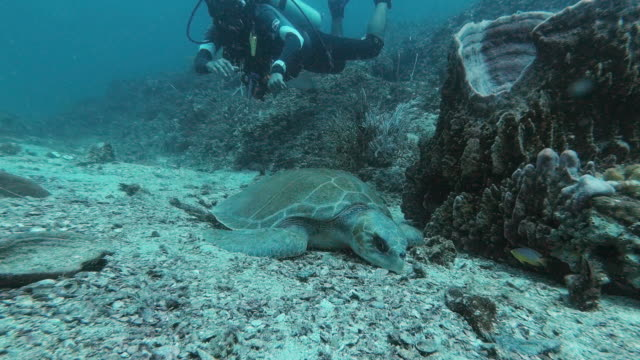 dead pacific ridley sea turtle found underwater by scuba diver - andaman sea stock videos & royalty-free footage
