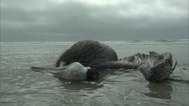 a dead pelican lies on a wet beach. - töten stock-videos und b-roll-filmmaterial