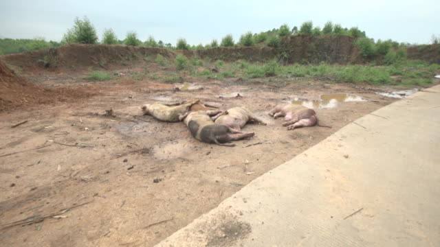 dead pigs suspected of being infected with african swine fever are left at the side of a road for pickup in longtan town, bobai county, guangxi... - healthcare and medicine or illness or food and drink or fitness or exercise or wellbeing stock videos & royalty-free footage