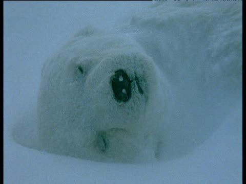 Dead polar bear cub lies in snow, Svalbard