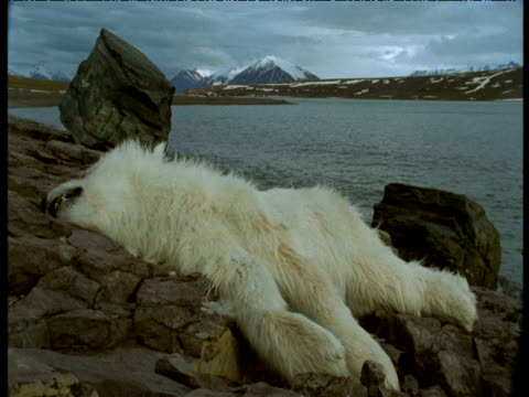 Dead polar bear cub lying by edge of lake, Svalbard