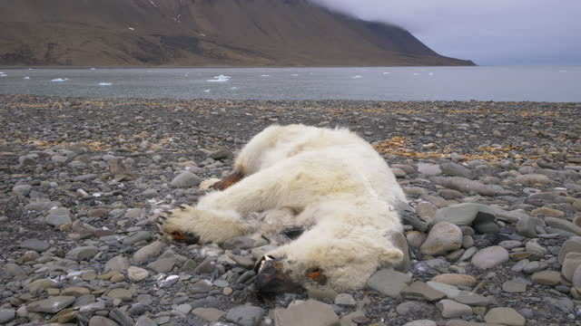ms dead polar bear lying on rocky beach with open sea and icefree background - death stock videos & royalty-free footage