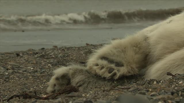 stockvideo's en b-roll-footage met dead polar bear - doden