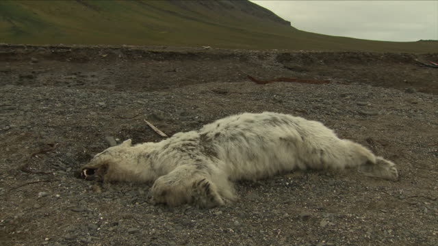dead polar bear - dead animal stock videos & royalty-free footage