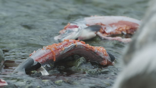 ecu dead salmon and seagulls pecking, mcneil river game range, alaska, 2011 - töten stock-videos und b-roll-filmmaterial