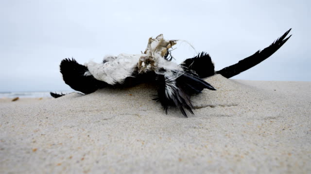 dead seagull at the beach - oil spill stock videos & royalty-free footage