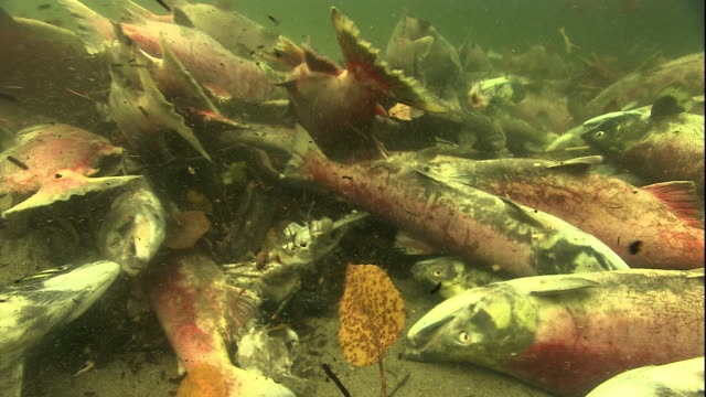 Dead sockeye salmon cover a river bottom after spawning. Available in HD.