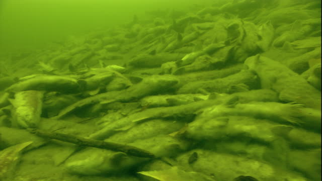 dead sockeye salmon litter a riverbed after spawning. available in hd. - dead animal stock videos & royalty-free footage
