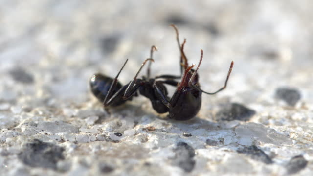 dead soldier ant macro - ant stock videos & royalty-free footage