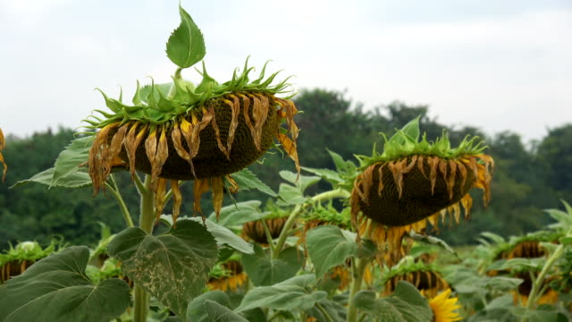 dead sunflowers - atrophy stock videos & royalty-free footage