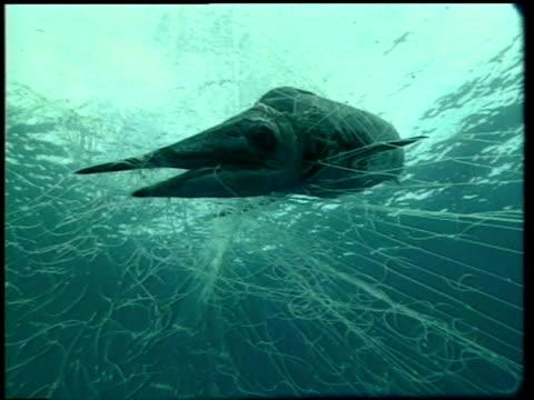 dead swordfish (xiphias gladius) tangled in net. - kommersiellt fisknät bildbanksvideor och videomaterial från bakom kulisserna