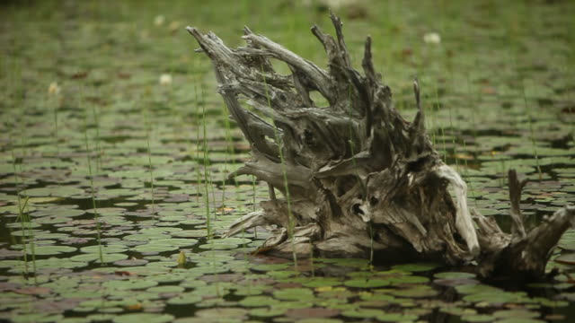 dead tree stump surrounded by lily pads in lake - named wilderness area stock videos & royalty-free footage