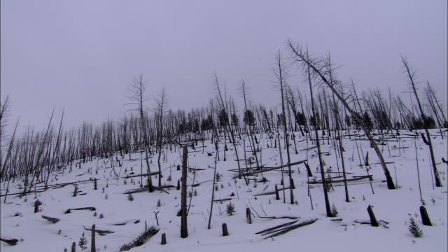 dead trees and stumps cover a snowy wilderness hillside. - paletto da cricket video stock e b–roll