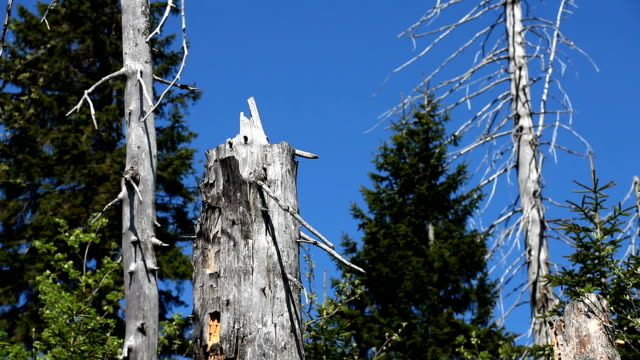 vídeos de stock, filmes e b-roll de dead árvores em uma floresta coniferous câmera em movimento - floresta da bavária