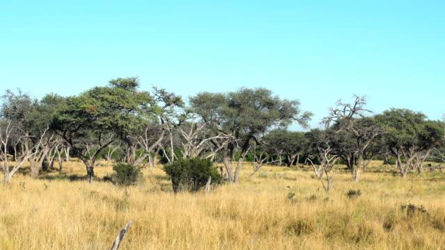 Dead trees in bush