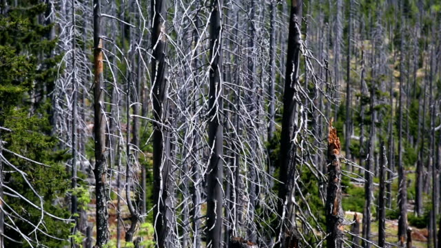 dead trees in damaged forest pan & tilt - dead plant stock videos & royalty-free footage