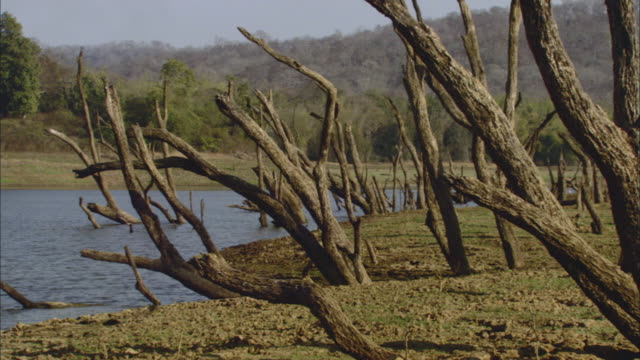 ws pan dead trees in field along riverbank / india - dead plant stock videos & royalty-free footage