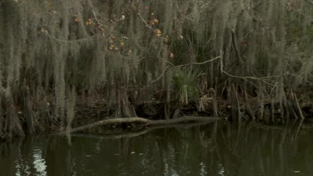 vídeos y material grabado en eventos de stock de dead white branches hang from mangroves in a swamp. - musgo español