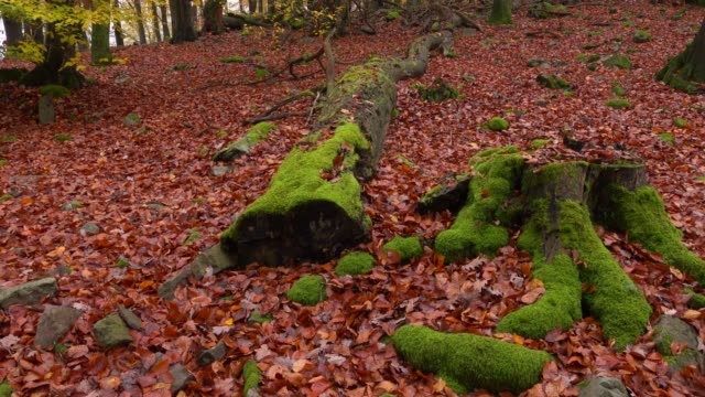 dead wood in autumnal forest, freudenburg, rhineland-palatinate, germany, europe - ceppaia video stock e b–roll