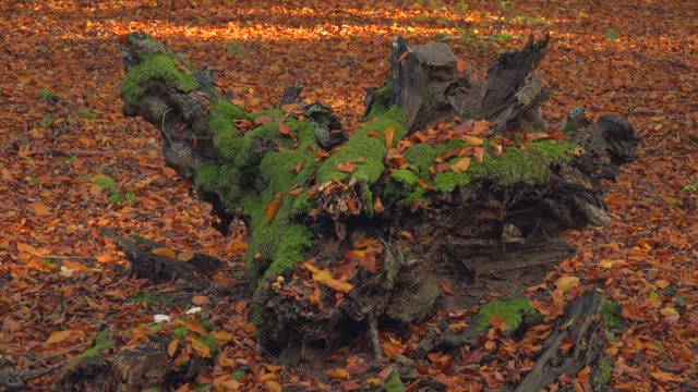 dead wood in autumnal forest, freudenburg, rhineland-palatinate, germany, europe - root stock videos & royalty-free footage