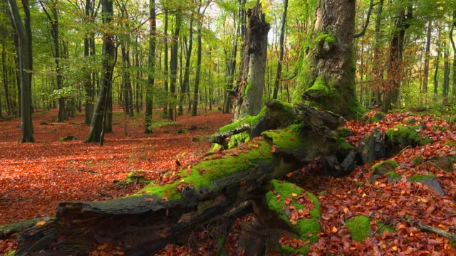 dead wood in beech forest, freudenburg, rhineland-palatinate, germany, europe - root stock videos & royalty-free footage