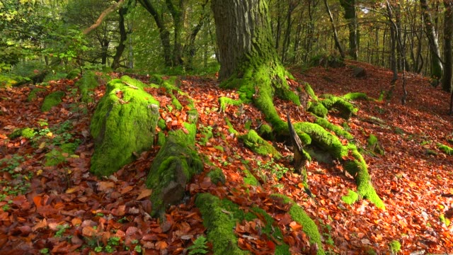 vídeos de stock, filmes e b-roll de dead wood in beech forest, freudenburg, rhineland-palatinate, germany, europe - inclinar