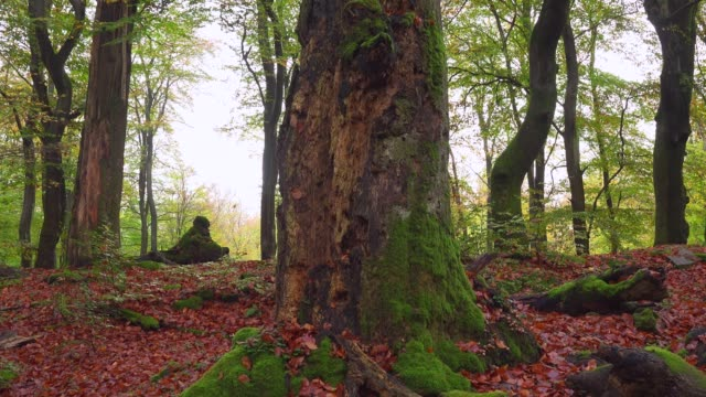 dead wood in beech forest, freudenburg, rhineland-palatinate, germany, europe - beech tree stock videos and b-roll footage