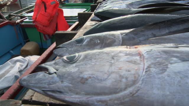 vídeos y material grabado en eventos de stock de cu pan dead yellowfin tuna at jetty / semporna, sabah, malaysia    - atún animal