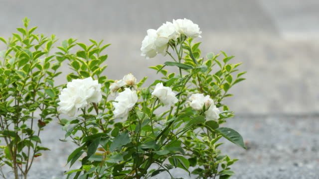 deadhead roses - pruning shears stock videos & royalty-free footage