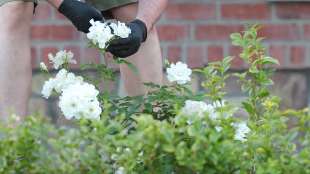 deadheading roses - secateurs stock videos & royalty-free footage