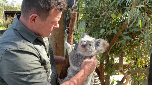 vídeos de stock, filmes e b-roll de dean reid, head mammal and bird keeper at the australian reptile park carries out a general health check with a young female koala and her joey on... - number 9