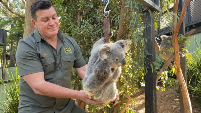 vídeos de stock, filmes e b-roll de dean reid, head mammal and bird keeper at the australian reptile park weighs a young female koala and her joey during a general health check on... - number 9
