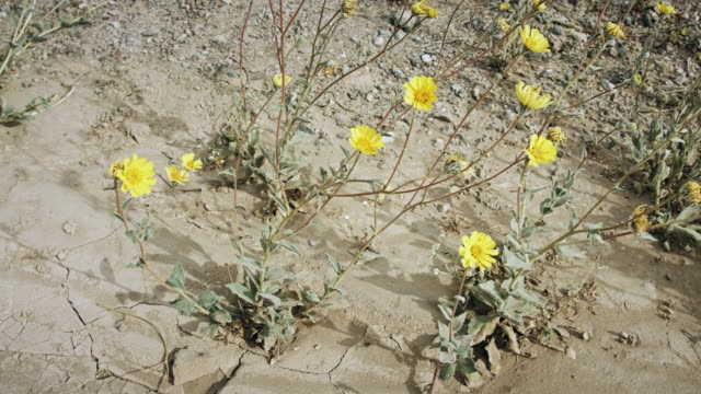 Death Valley Super Bloom - Flowers from Cracked Ground